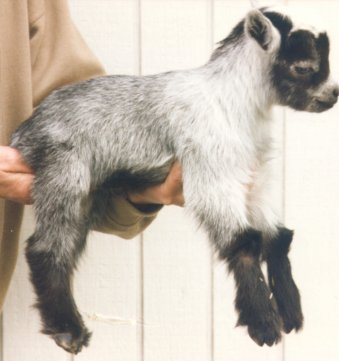 color genetics color patterns and the pygmy goat